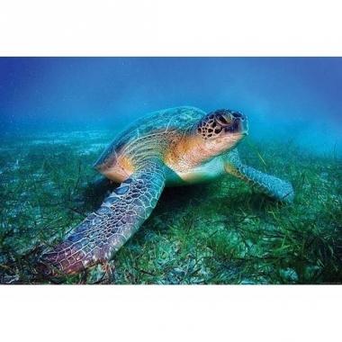 Zeeschildpadje poster 61 x 92 cm