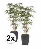 2x bamboe promo nepplant in pot 150 cm