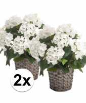 2x witte hortensia nepplant in mand 45 cm