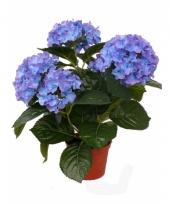 Blauwe kunst hortensia plant 36 cm