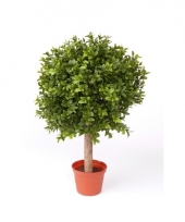 Buxus plant in pot 36 cm