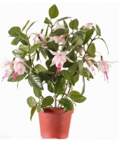 Fuchsiaplant in pot 30 cm