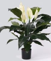 Kamerplant lepelplant 75 cm