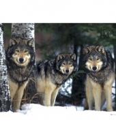 Muur decoratie wolven