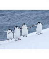 Pinguins poster 61 x 92 cm