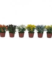 Tafel bloemetje liriopes 17 cm