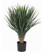 Yucca palm in pot 80 cm